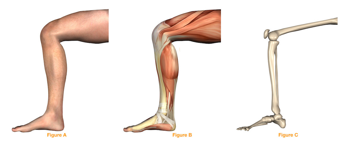 Purpose of knee muscles